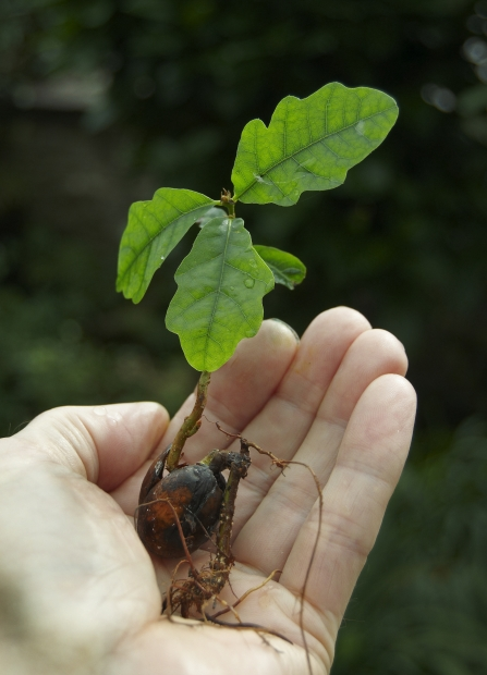 Oak seedling