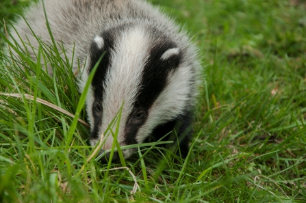 Badger cub Brandon credit Steven Cheshire