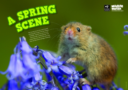 Wildlife Watch Spring 2019 harvest mouse poster