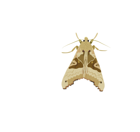 Angle shades moth illustration
