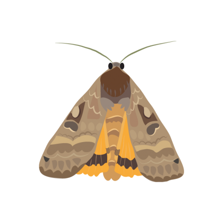 Large yellow underwing illustration