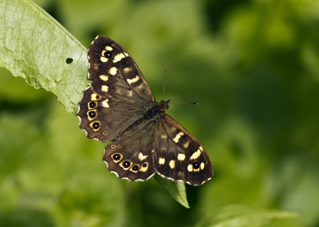 Speckled wood Credit Friends of the River Arrow