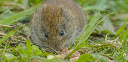 Bank vole Credit John Bridges