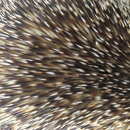 Hedgehog-Spines-Pic