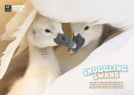 WildlifeWatch Issue 93 Poster Snuggling swans