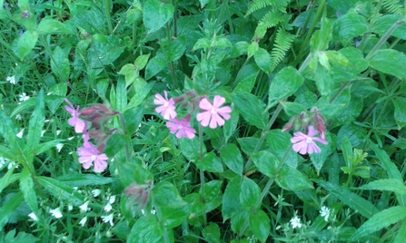 Red Campion Jo Hands