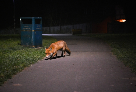Nature Returning, Urban Fox, Craig Frick