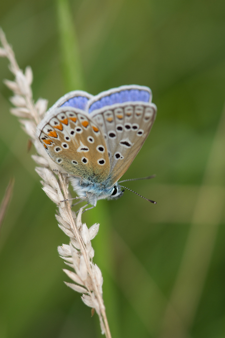 Common Blue at Whitacre Heath by Steve Cheshire
