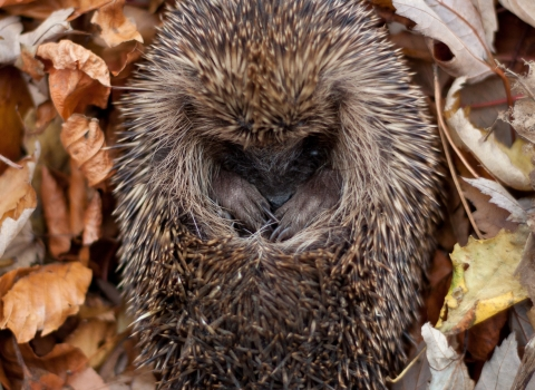 Hedgehog curled in leaves Credit Tom Marshall