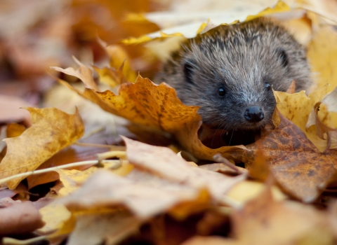 Hedgehog in autumn leaves Credit Tom Marshall