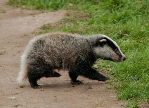 Badger cub credit Steven Cheshire