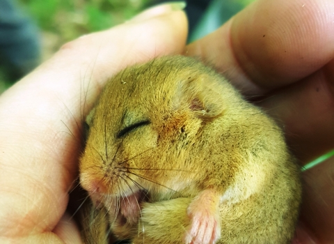 Dormouse in hand Credit Lorna Griffiths