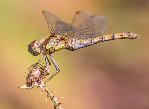 Photo comp 2018 Common Darter female Helen Scarsbrook