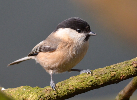Willow Tit Credit Adam Jones